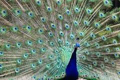 与开放尾巴和大青绿色eyespot的孔雀 图库摄影