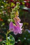 与开放开花和芽的桃红色毛地黄属植物花 免版税库存图片