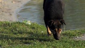 与开放枪口的一条黑白狗攀登在慢动作的湖海滩 股票录像
