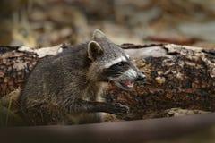 与开放枪口的浣熊 浣熊,浣熊属lotor,走在白色沙子海滩在国家公园曼纽尔安东尼奥,哥斯达黎加 Wil 图库摄影