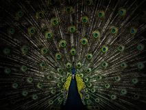 与开放爱好者的美丽的公孔雀 库存图片
