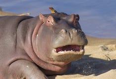 与开放的嘴,南非的河马 免版税库存照片