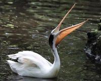 与开放的额嘴的白色鹈鹕 免版税库存图片