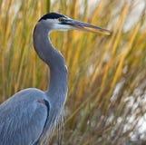 与开放的嘴的伟大蓝色的苍鹭的巢 图库摄影