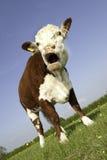 与开放的嘴的母牛 库存图片