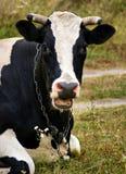 与开放的嘴的母牛 免版税图库摄影