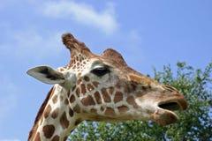与开放的嘴的长颈鹿 库存图片