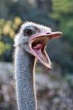 与开放的嘴的驼鸟 免版税库存照片