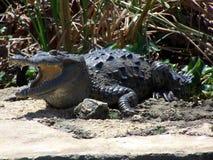 与开放的嘴的鳄鱼 免版税库存图片