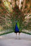 与开放羽毛的孔雀 免版税库存照片