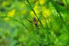 与开放翼的大黄蜂在绿色背景 库存照片