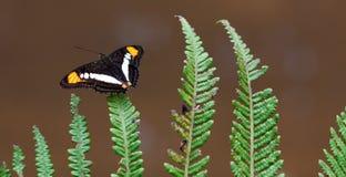 与开放翼的布朗,黄色和白色蝴蝶坐一片绿色蕨叶子 免版税库存照片