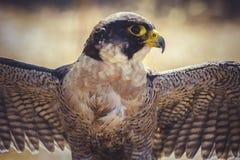 与开放翼的旅游猎鹰,高速鸟  免版税图库摄影