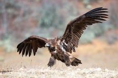 与开放翼的灰黑色雕Aegypius monachus 图库摄影
