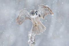 与开放翼的猫头鹰从芬兰 北部欧洲的本质 雪与飞行猫头鹰的冬天场面 在飞行的鹰猫头鹰与雪花在期间 库存图片