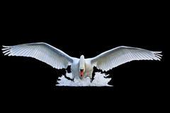与开放翼的疣鼻天鹅在水被隔绝的黑色跑 免版税库存图片