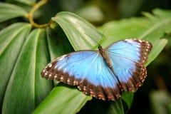 与开放翼的蓝色蝴蝶在绿色叶子 免版税图库摄影