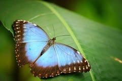 与开放翼的蓝色蝴蝶在绿色叶子 库存照片