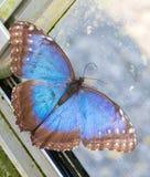 与开放翼的蓝色Morpho peleides蝴蝶 顶视图宏指令p 免版税库存照片