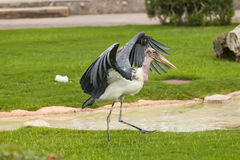 与开放翼的非洲marabu 免版税库存照片