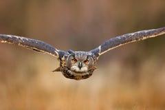与开放翼的飞鸟在草草甸,面对面的细节攻击飞行画象,橙色森林在背景中,欧亚混血人Ea 免版税库存图片
