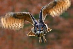 与开放翼的飞鸟在草草甸,面对面的细节攻击飞行画象,橙色森林在背景中,欧亚混血人Ea 免版税库存照片