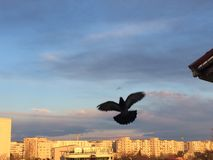 与开放翼的鸽子 免版税库存照片