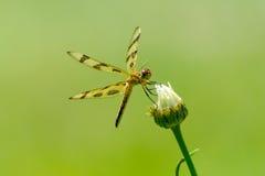与开放翼的黄色蜻蜓在简单的绿色背景 图库摄影