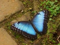 与开放翼的蝴蝶 Peleides蓝色Morpho,共同的Morpho,皇帝, Morpho peleides 免版税库存照片