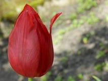 与开放花瓣的美丽的大郁金香 库存图片