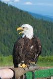 与开放额嘴的白头鹰。 免版税库存照片