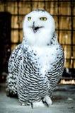与开放额嘴的白色猫头鹰 库存图片