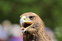 与开放额嘴和舌头的布朗老鹰 库存照片