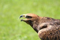 与开放额嘴和舌头的恼怒的伟大的老鹰 免版税库存照片