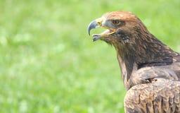 与开放额嘴和舌头的恼怒的老鹰 免版税库存图片