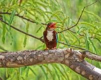 与开放额嘴的一只美丽的翠鸟 免版税图库摄影
