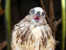 与开放额嘴的幼小老鹰 免版税图库摄影