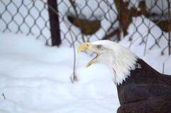 与开放额嘴的白头鹰 免版税库存照片