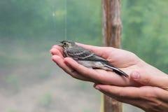 与开放额嘴的美丽的树田云雀之类鸟在妇女` s手上 库存照片