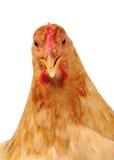 与开放额嘴的鸡在白色背景 免版税图库摄影