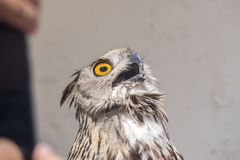 与开放额嘴,腹股沟淋巴肿块腹股沟淋巴肿块的欧亚老鹰猫头鹰 库存照片
