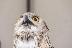 与开放额嘴,腹股沟淋巴肿块腹股沟淋巴肿块的欧亚老鹰猫头鹰 图库摄影