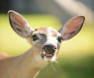 与开放嘴和大牙的鹿 库存图片