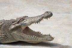 与开放嘴特写镜头的鳄鱼 库存照片