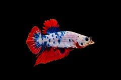 与开放嘴的五颜六色的betta鱼,战斗的鱼,在黑背景隔绝的暹罗战斗的鱼,包括的裁减路线 库存图片