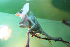 与开放嘴的变色蜥蜴 库存图片