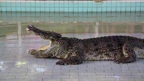 与开放嘴的大鳄鱼在鳄鱼展示 影视素材