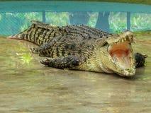 与开放嘴的大鳄鱼 库存图片