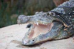 与开放嘴的尼罗鳄鱼 免版税库存图片