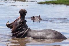 与开放嘴的河马在Chobe河,博茨瓦纳河马水池  免版税图库摄影